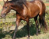 sixteen-hands-andalusian-horse