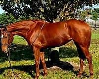 hunter-jumpers-for-sale-thoroughbred-horse