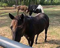 aqha-mare-tennessee-walking-pony