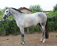 producer-of-champions-andalusian-horse