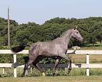 texas-andalusian-breeder-horse