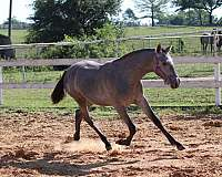 texas-andalusian-breeder-filly