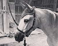 year-old-welsh-pony
