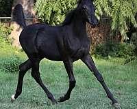 black-hunter-under-saddle-horse