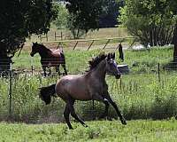 halter-champion-andalusian-horse