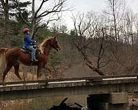experienced-gaited-horse-for-sale-in-va