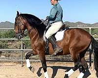 top-conformation-andalusian-horse