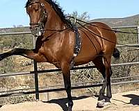 down-andalusian-horse