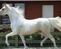champion-producer-saddlebred-horse