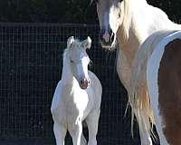 dilute-saddlebred-horse