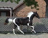 palomino-mare-saddlebred-horse