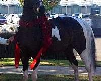 choice-saddlebred-horse