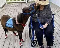 blue-eyed-miniature-horse