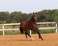 correct-conformation-andalusian-horse