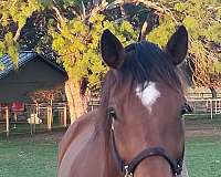 accredited-texas-bred-horse