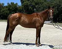 up-to-date-hanoverian-horse
