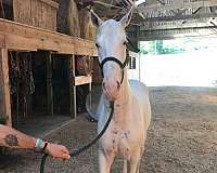 sabino-tobiano-spotted-horses-for-sale