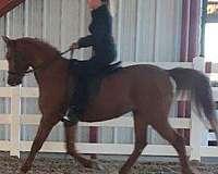 beautiful-mover-half-arabian-horse