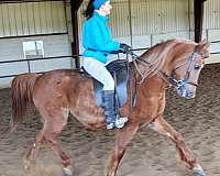 enjoy-half-arabian-horse