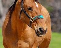 foundation-quarter-horse