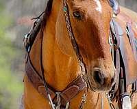 playday-quarter-horse