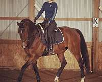 warmblood-oldenburg-horse