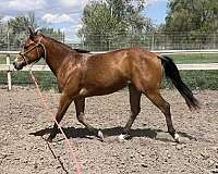 bay-quarter-horse-filly