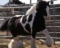 trail-gypsy-vanner-horse