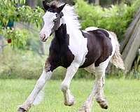 blue-eyed-gypsy-vanner-horse