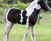 flashy-gypsy-vanner-horse