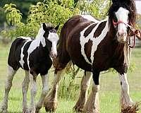 homozygous-black-gypsy-vanner-horse