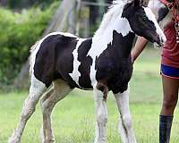 showmanship-gypsy-vanner-horse
