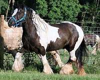 13-hand-gypsy-vanner-filly