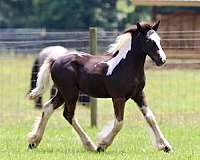 piebald-ghra-horse