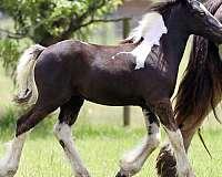 black-tobiano-foundation-horse