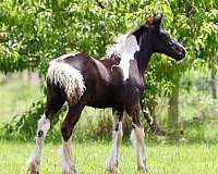 piebald-filly-for-sale