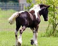 signature-gypsy-vanner-horse