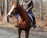 jumper-gelding