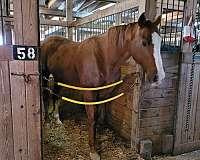 white-blaze-socks-horse