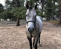 dappled-quarter-horse