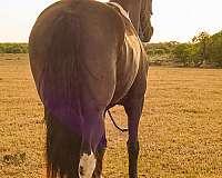 barrel-friesian-horse