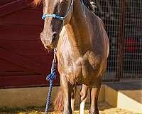 barrel-racing-friesian-horse
