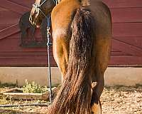 cowboy-mounted-shooting-friesian-horse
