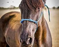 cross-friesian-horse