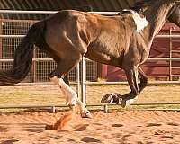 dressage-friesian-horse
