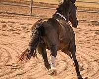 drill-team-friesian-horse