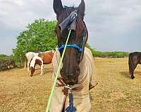 equitation-friesian-horse