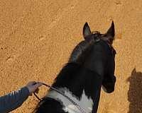 hunt-seat-equitation-friesian-horse