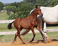 big-filly-andalusian-horse