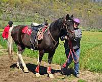 please-tennessee-walking-horse